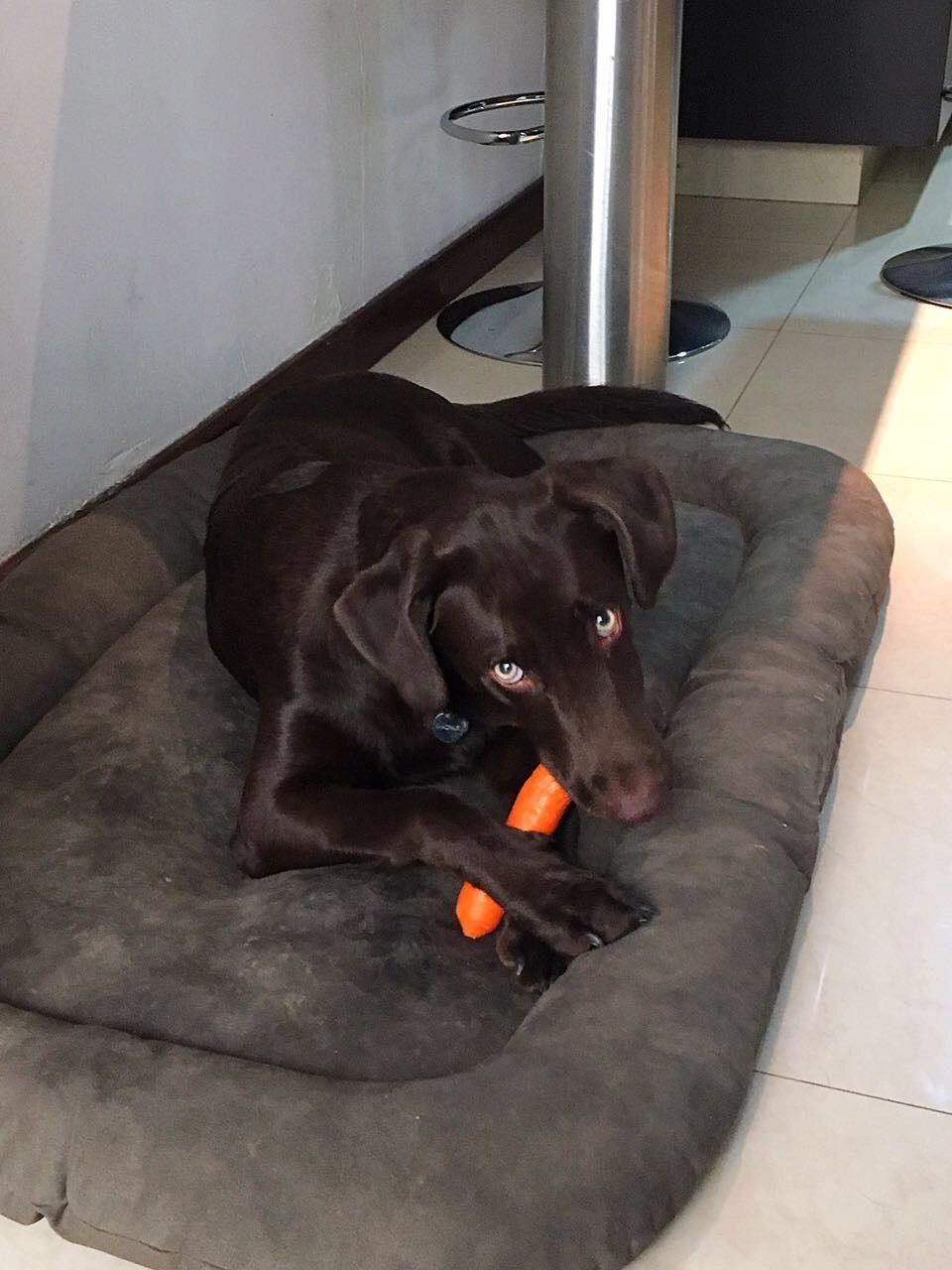 Magnus 6 Month Old Chocolate Labrador Chocolate Labrador 6