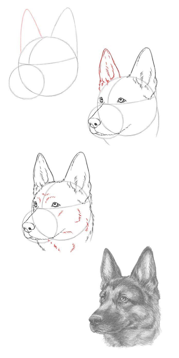 Draw a German Shepherd Dog