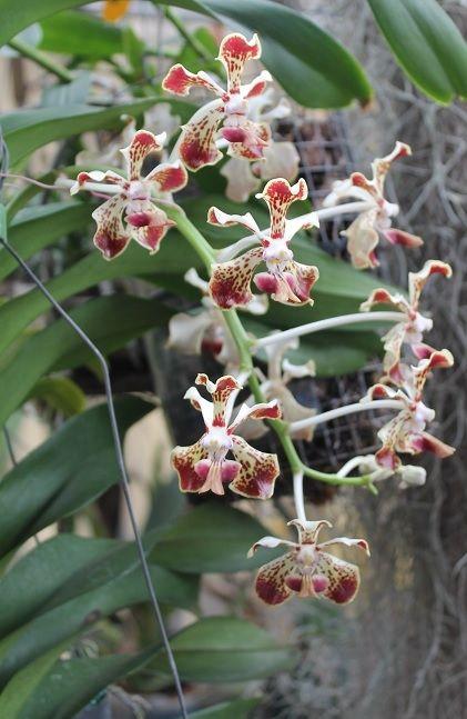 0870151232482 Vanda Trimerrill   Vandas y Ascocendas orchids   Pinterest