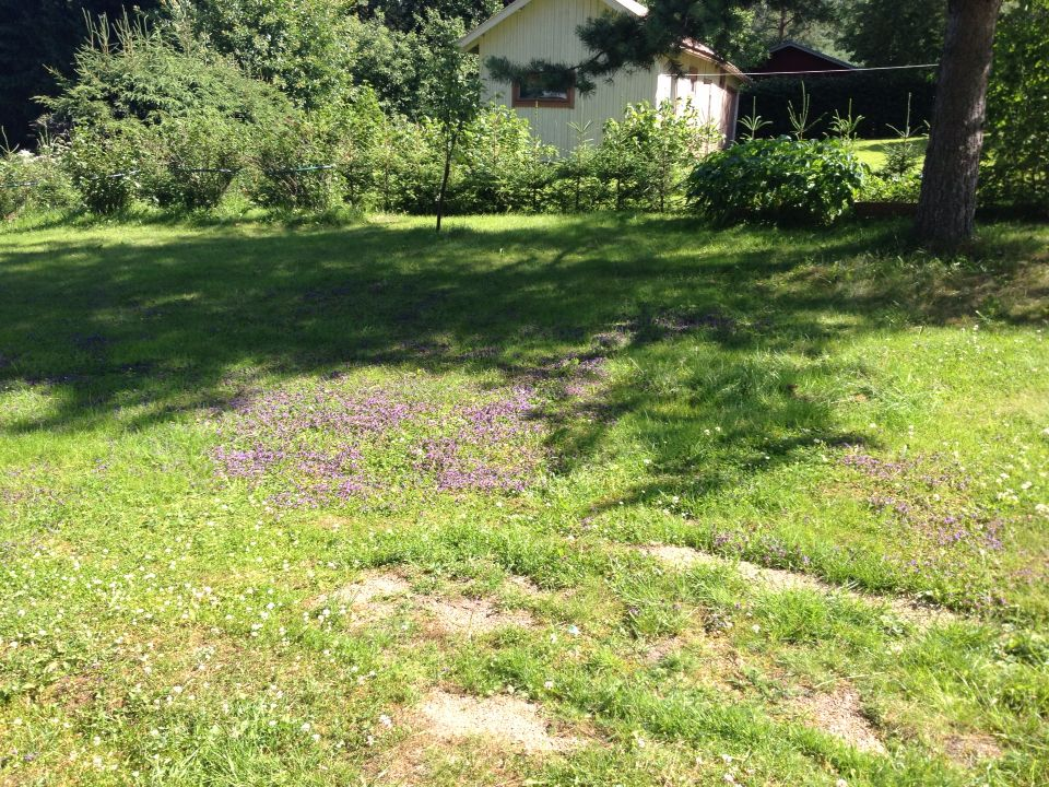 Jotai sinistä kukka rupes kasvaa sammal nurtsilla.