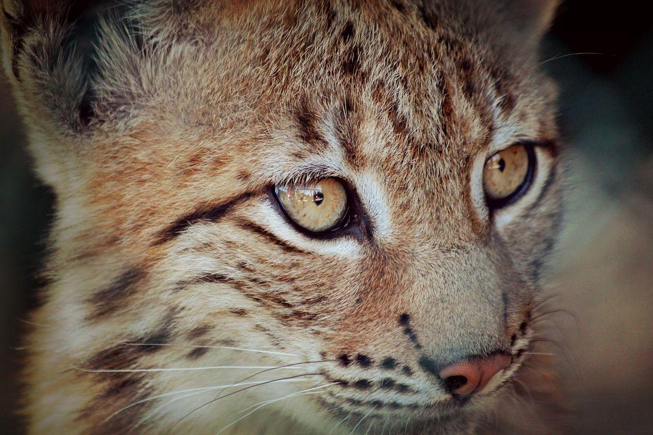 Photograph of a lynx