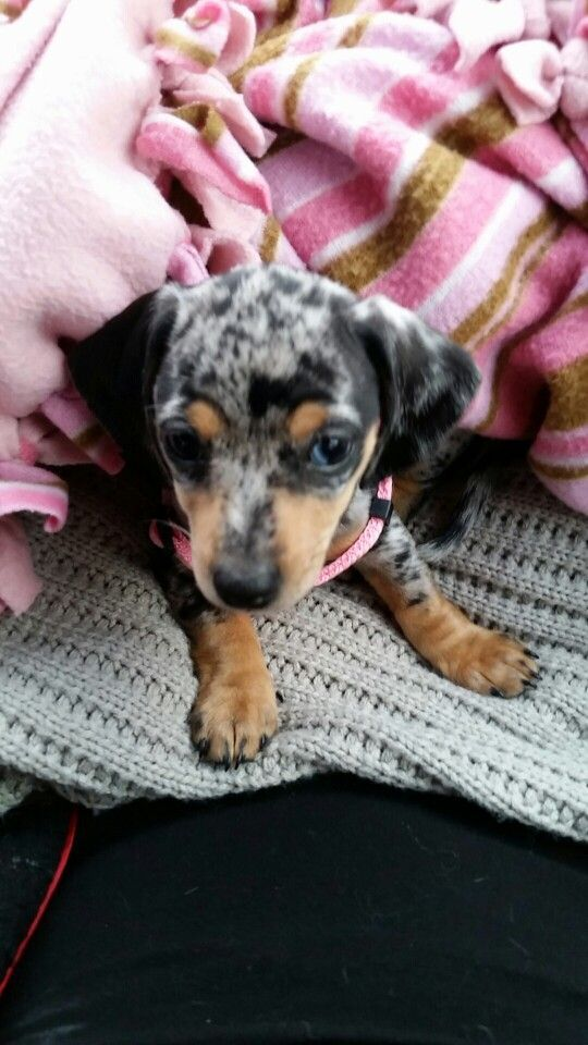 Dapple Miniature Dachshund Puppy One Brown Eye And One Partial