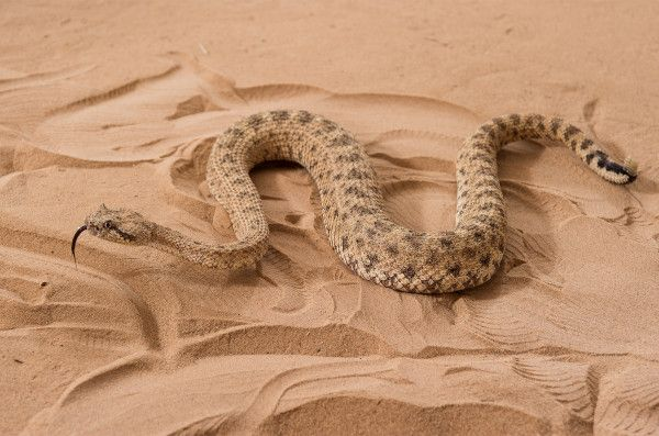 A sidewinder snake is shown in a sand-filled trackway at Zoo Atlanta. Photograph by Rob Felt