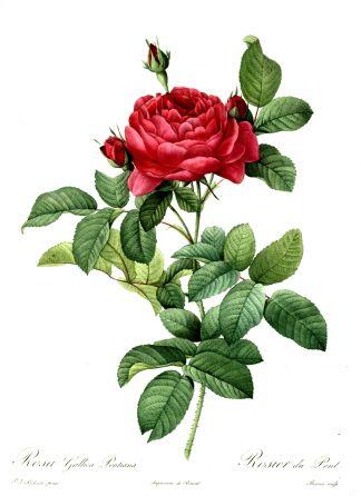Redouté, Rosa_gallica_pontiana-1000px