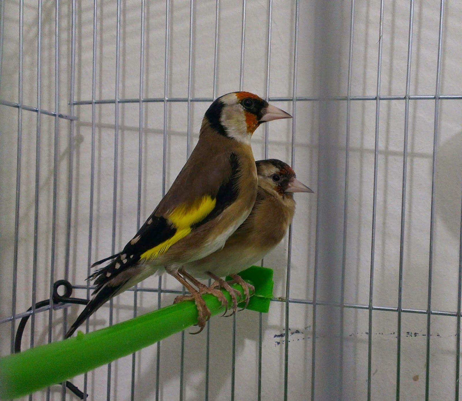 محترف تربية طائر الحسون تجهيز أنثى و ذكر الحسون لموسم التزاوج ج1 Animals Bird Parrot