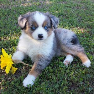 Mini Australian Shepherds Puppies Breeder Sales Mini