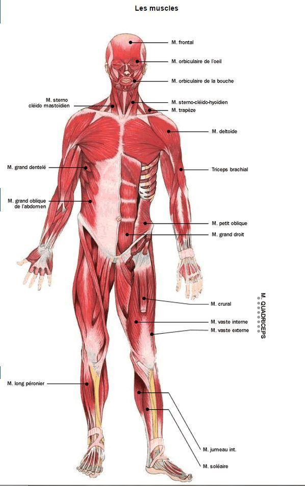 Schéma des muscles de face | Médecine anatomie | Pinterest