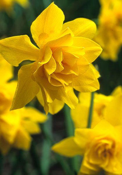 "400 Narcissus /""Tete a Tete/"" Dwarf Daffodil Fresh Spring Flowering Bulbs"