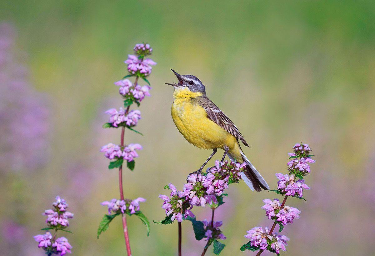 "фото ""на лугу"", трясогузка желтая | Красивые птицы ..."