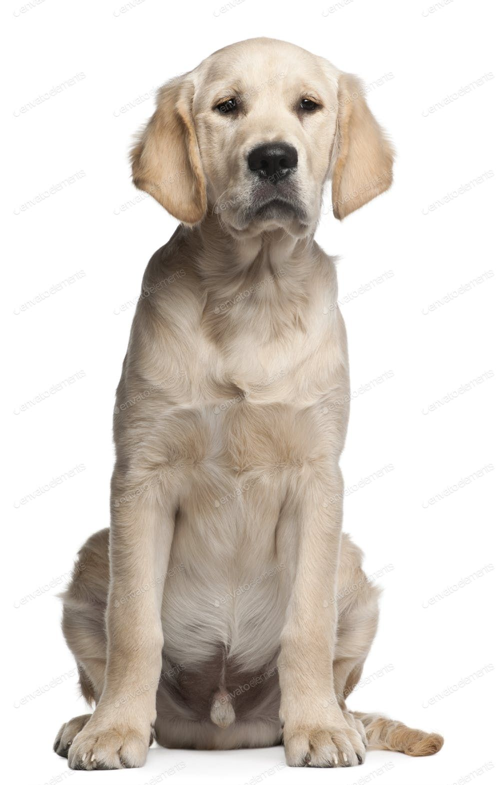 Golden Retriever Puppy 5 Months Old Sitting In Front Of White