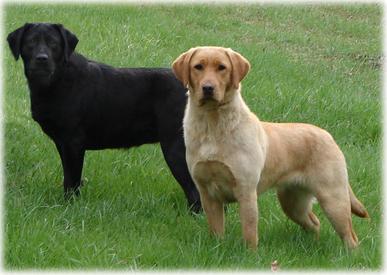 The Labrador Dog Lab Labrador Dog Pictures Labrador Dog