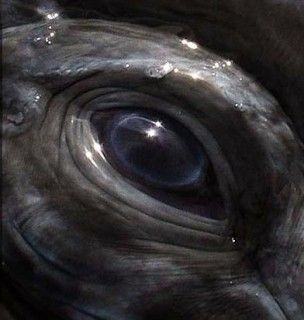 Southern Right Whale eye - ******************Киты*******************