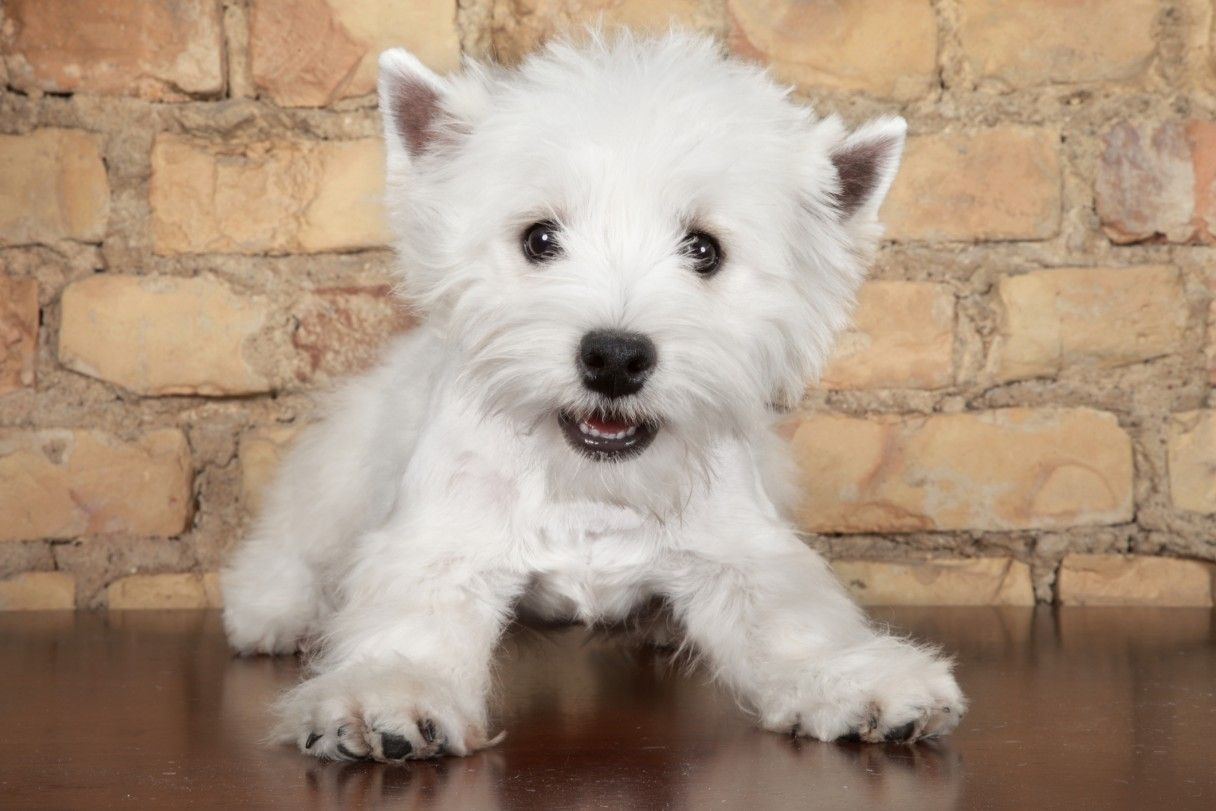 Young Fergus Westie Puppies For Sale Westie Puppies Terrier Dog Breeds