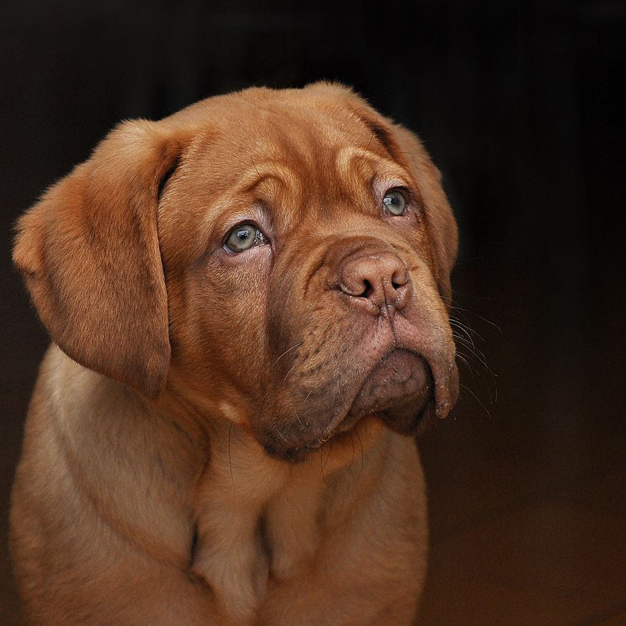 french mastiff. I love these kind of dogs!! My dog for the