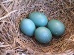 de eieren zijn blauw van een roodborstje