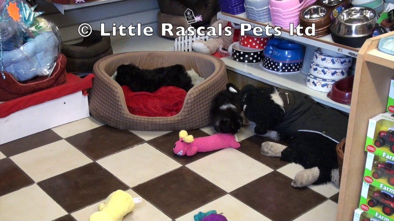 Little Rascals Uk Breeders New Litter Of Shih Tzu X Spitz Puppies