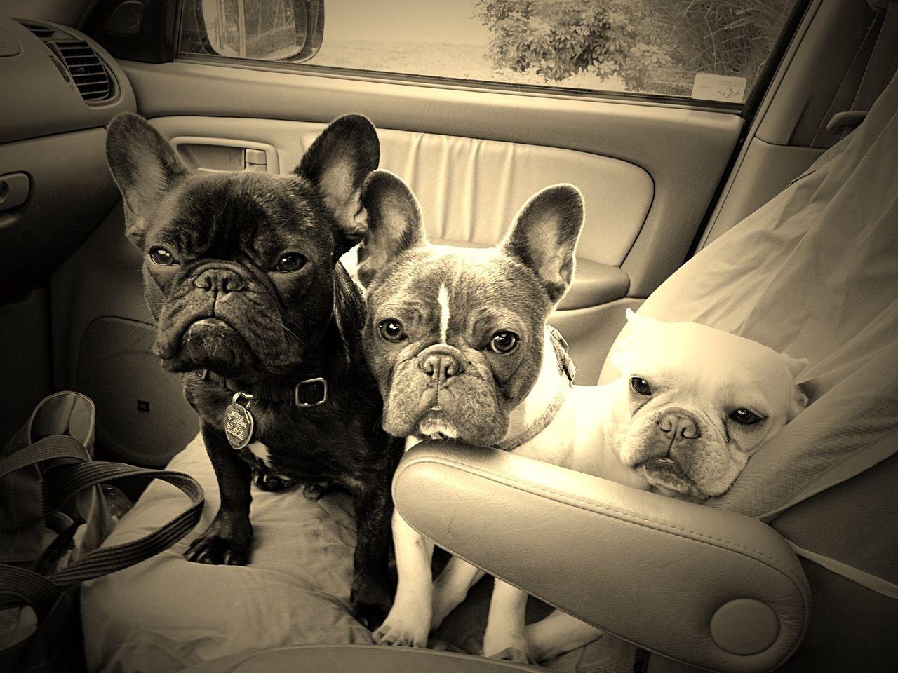 Texas French Bulldog Rescue Adoptions Rescueme Org French