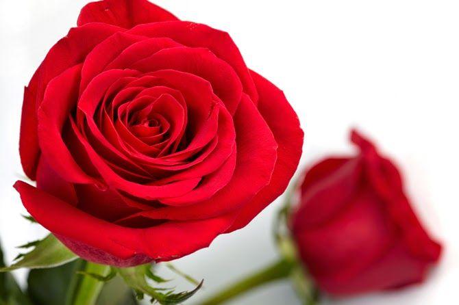 20 Gambar Foto Bunga Mawar Merah Sealkazz Blog Gambar Bunga Mawar Merah Bunga