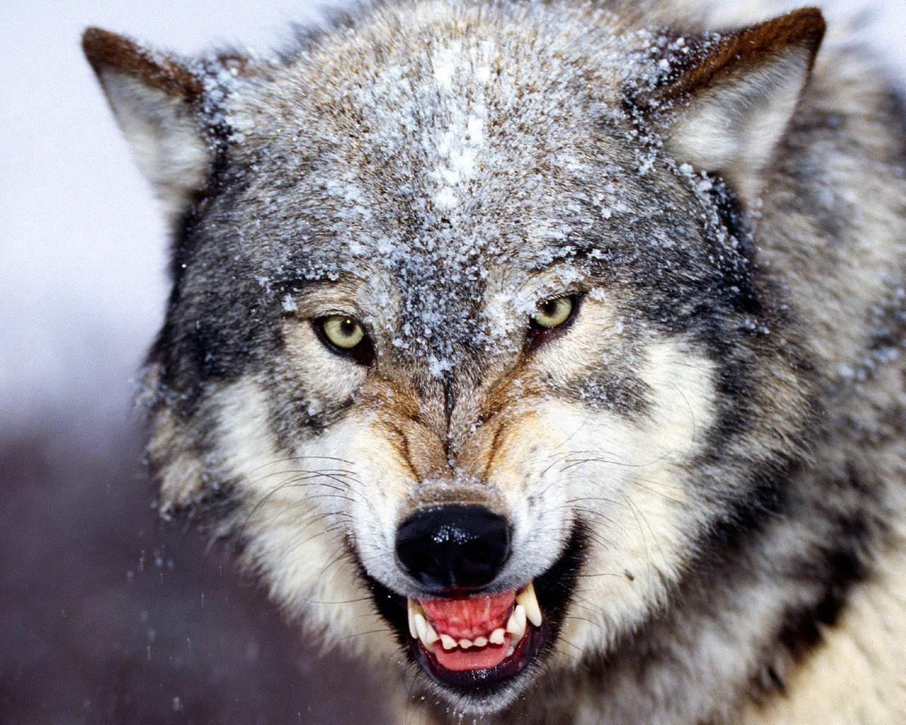 Gray wolf is a keystone predator of the ecosystem wolf animal and