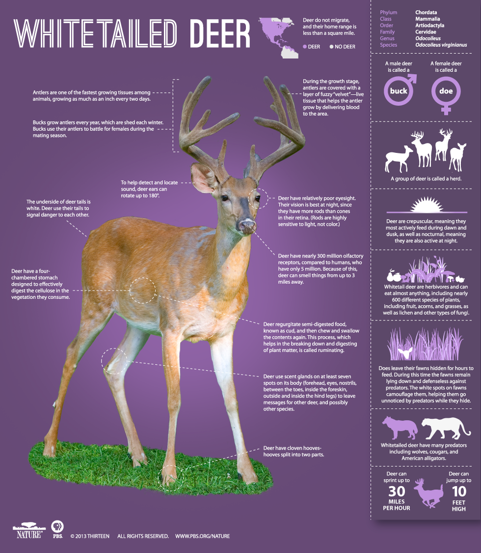 Whitetail Deer Anatomy Diagram Female - Wiring Diagram For Light ...