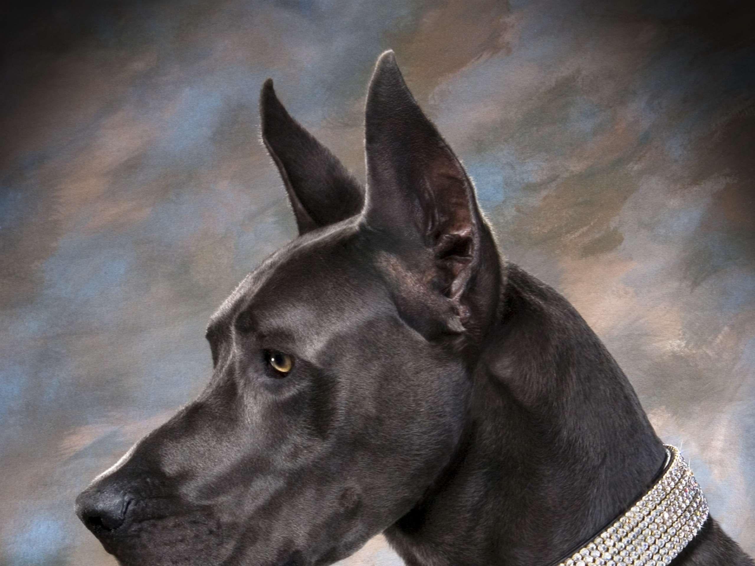 Gray Great Dane Great Dane Gray Wallpapers Large Dog Collars