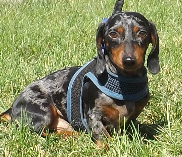 Adopt Zero On Weenie Dogs Animal Rescue I Love Dogs