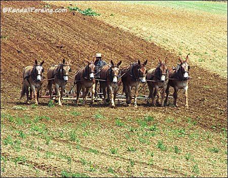 Draft Mules Google Search Draft Mule Horses