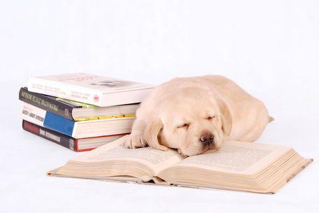 'Sleeping labrador puppy with books' by Waldek Dabrowski on artflakes.com as poster or art print $16.63