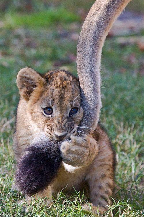 しっぽでじゃれる動物ライオン