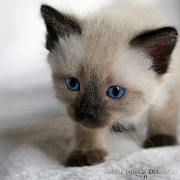 Siamese Kitten Personality Information Kittens Siamese Kittens Cute Animals