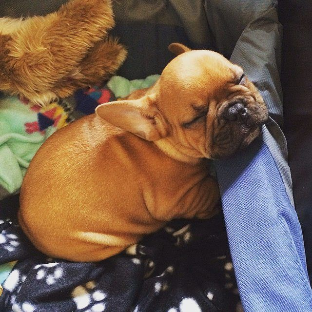 French Bulldog Puppy, I can't handle this much cuteness!