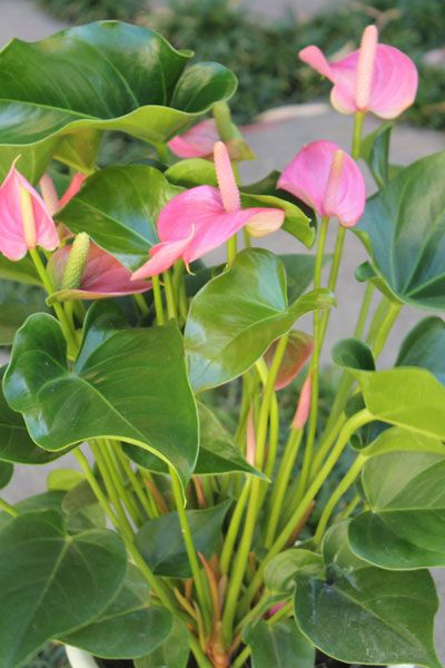 The house plant anthurium andreanum by the gardening blog the house plant anthurium andreanum by the gardening blog house plantspink flowersthe mightylinksfo Image collections