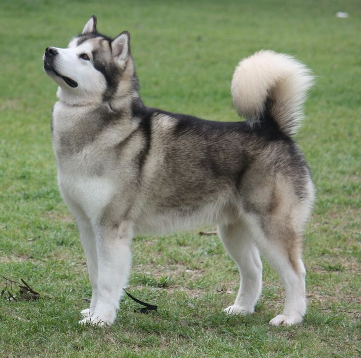 Alusky Husky Malamute Info Training Puppies And Pictures