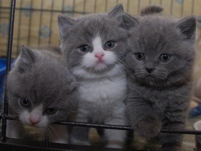 Pedigree Gccf British Shorthair Kittens Ready Soon British