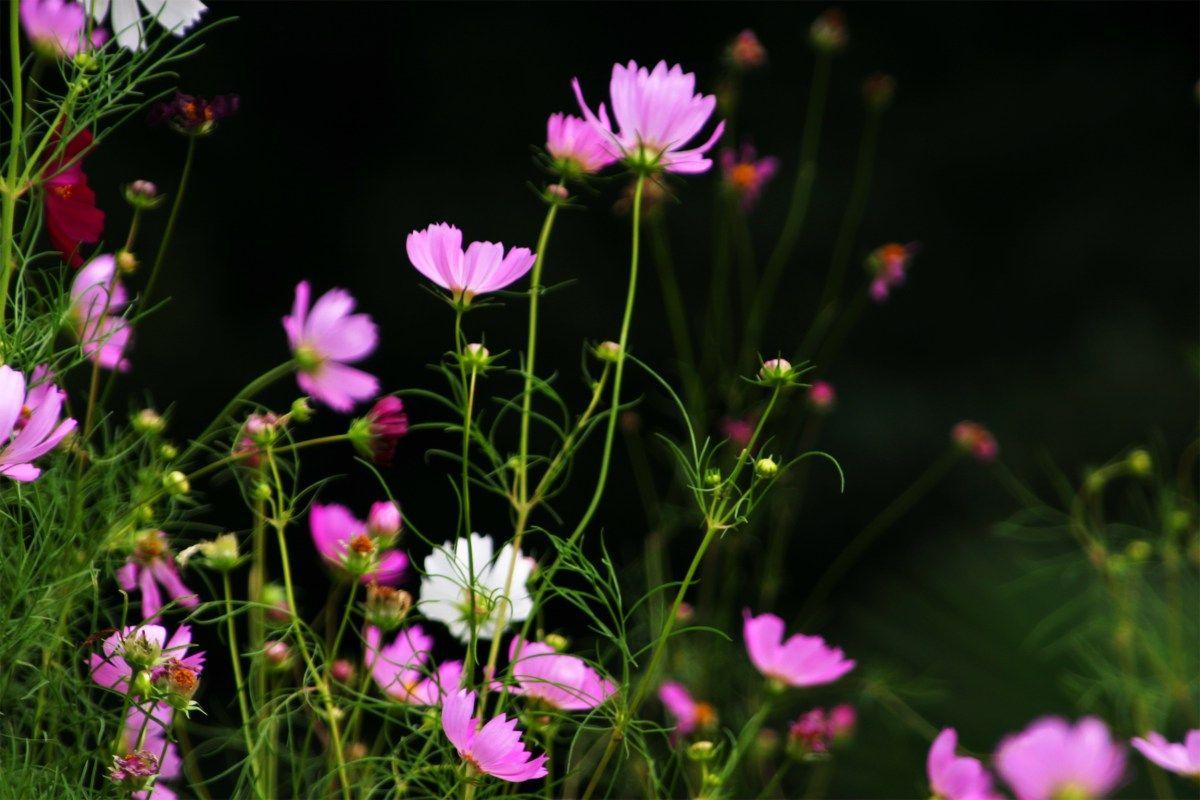 How To Grow Cosmos Perennial Gardens Pinterest Wildflowers