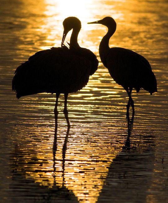 Thousands of Lesser Sandhill #Cranes winter along the Rio Grande River wetlands.