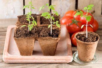 der beginn ist entscheidend tomaten vorziehen 4 h ufige fehler pflanzen pinterest. Black Bedroom Furniture Sets. Home Design Ideas