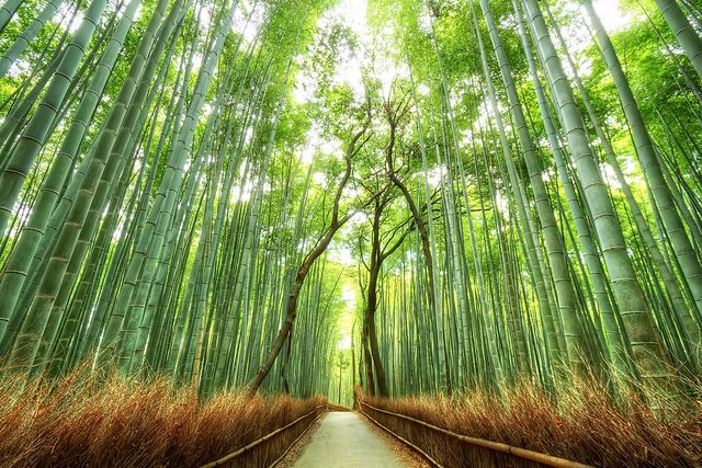 Kyoto S Bamboo Forest Scenery Wallpaper Forest Wallpaper