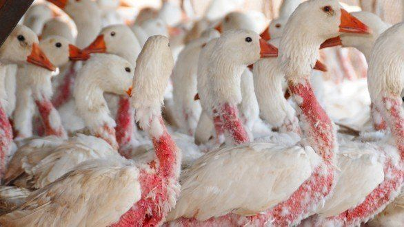 Petition · Moncler down jackets, more than 1000 euros pluck the geese alive · Change.org