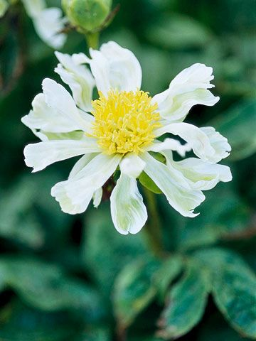 Spider Green  A relatively new peony, 'Spider Green' is unusual for its twisty lime-flushed white petals. Name: Paeonia 'Spider Green' Bloom...