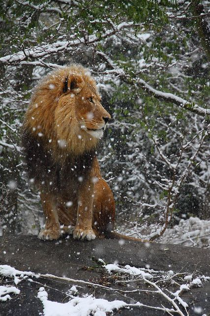 Lion in Winter by Beth Keplinger on Flickr. °DUDE YOU CHILLY
