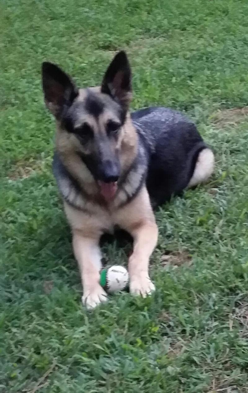 Adopt Nikki on Petfinder Dogs, German shepherd dogs