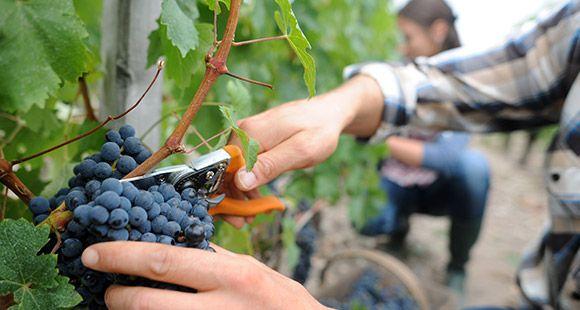 Vines, pruning and harvesting