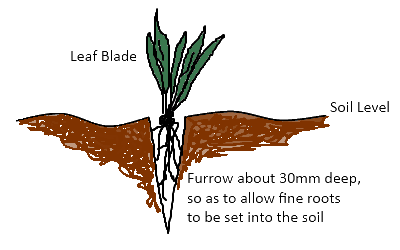 Planting Grass Plugs or Runners