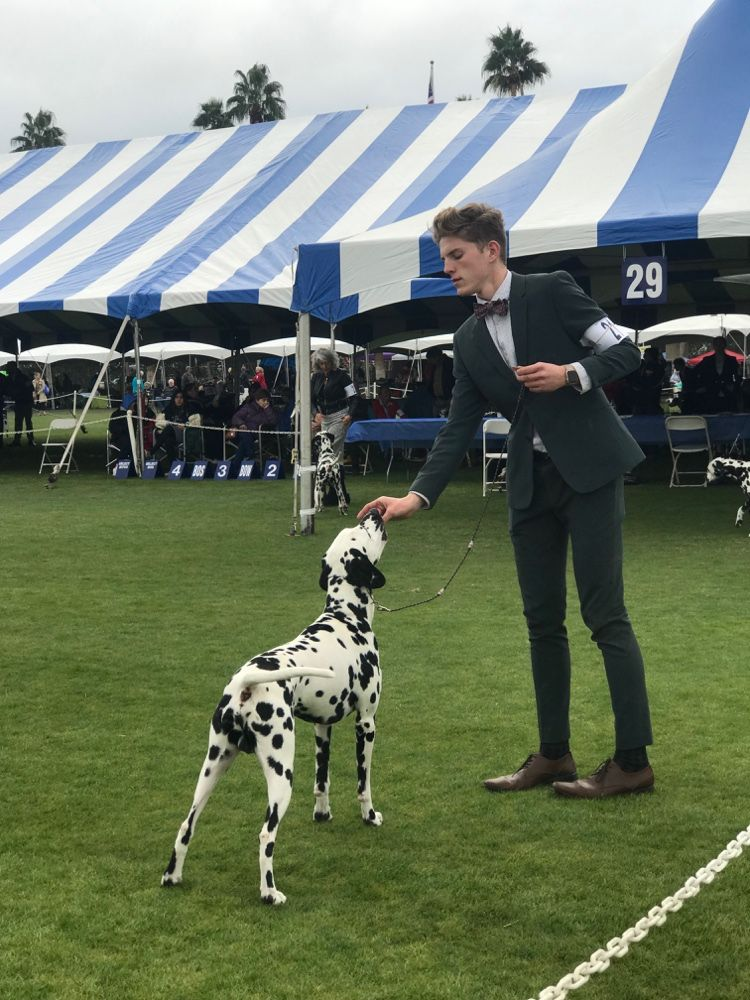 Dalmatian In The Ring At The Akc All Breed Show Palm Springs