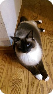 Seattle Wa Siamese Meet Lily A Cat For Adoption Http Www Adoptapet Com Pet 14309681 Seattle Washington Cat Cat Adoption Pets Cats