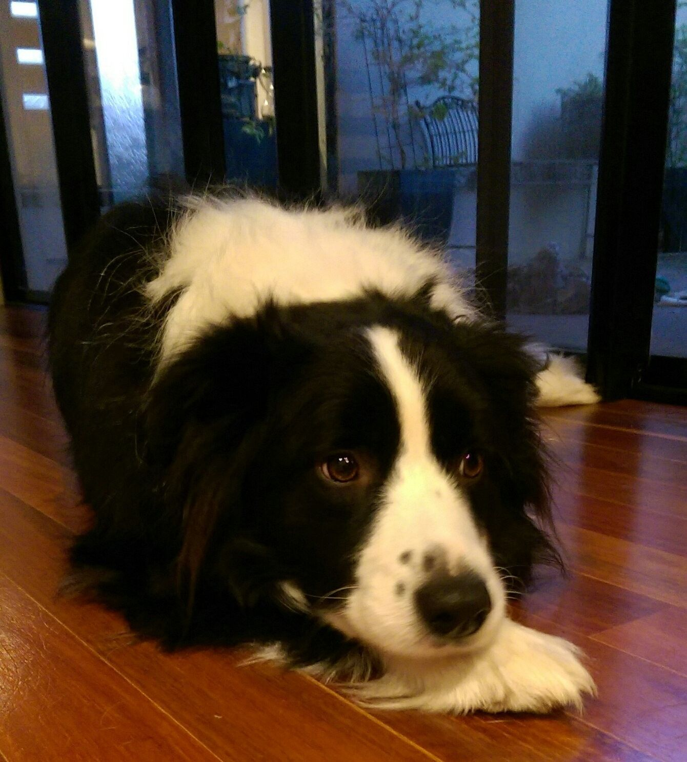 My Border Collie Collie, Herding dogs, Border collie dog