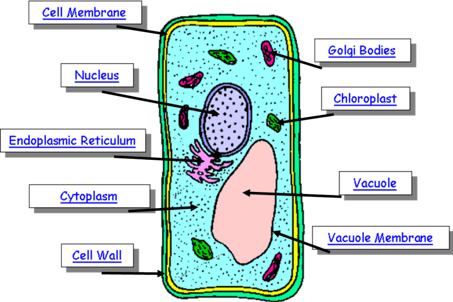 plant cell | Plant cell diagram, Cell diagram, Plant cell
