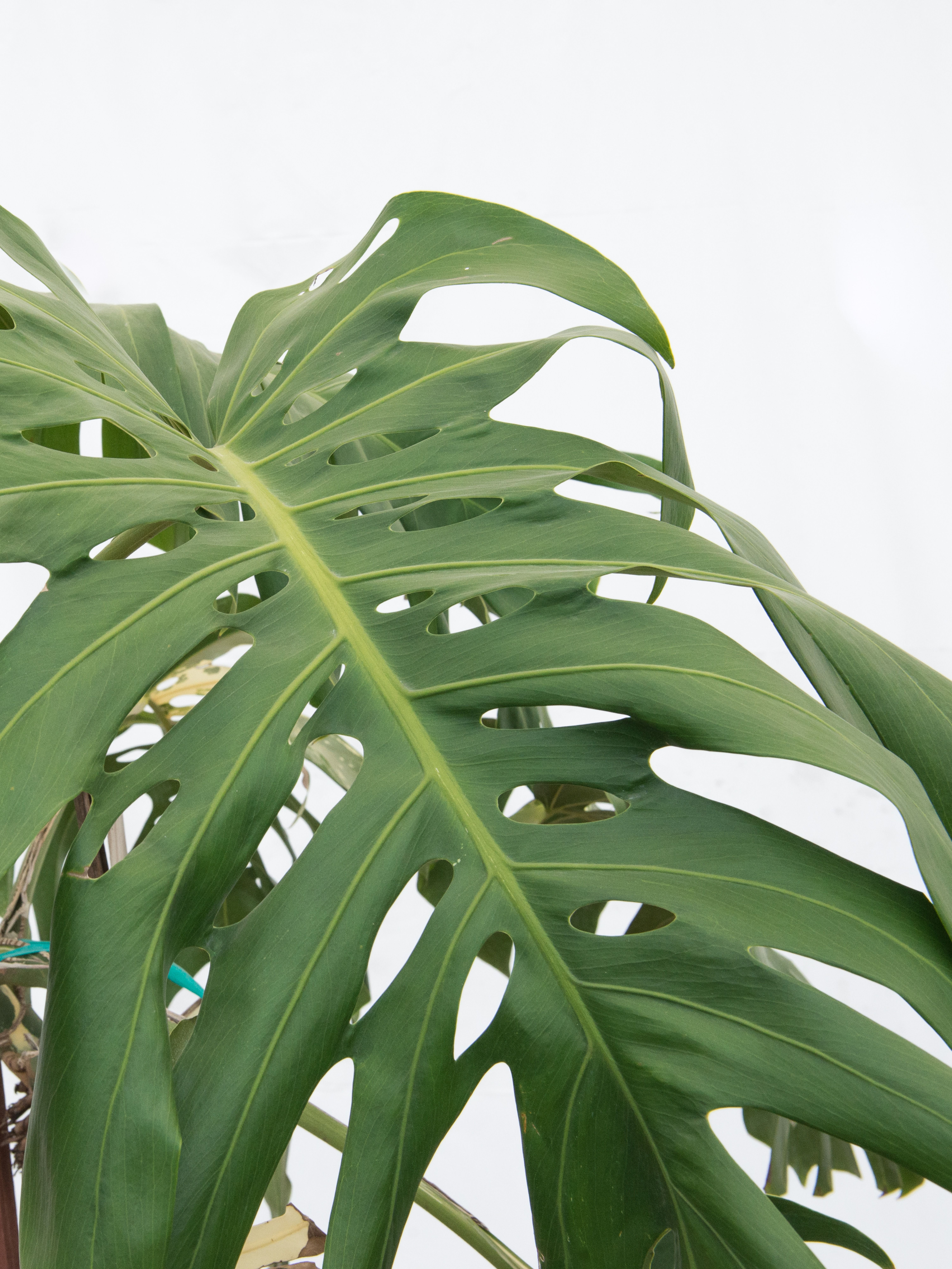 A Closer Look At Monstera Deliciosa Mulhall S Monstera Deliciosa Monstera Plant Leaves