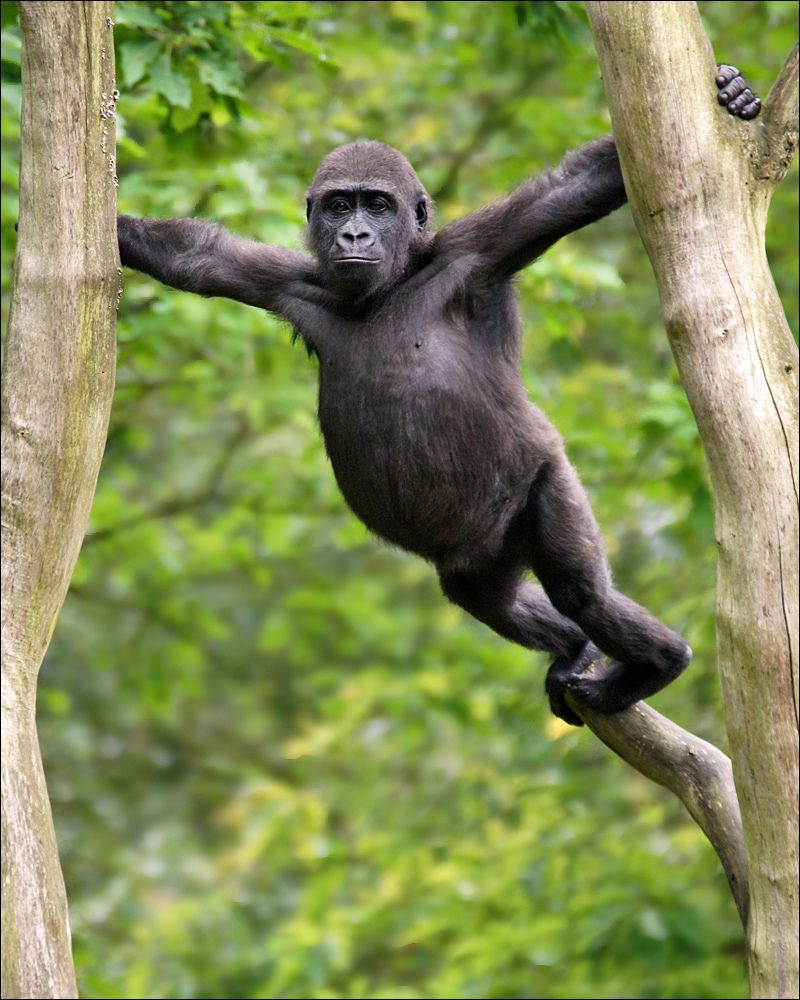 """""""I'm just gonna go out on a limb here..."""" This young Western Lowland Gorilla was spotted in Apenheul Primate Park, the Netherlands."""